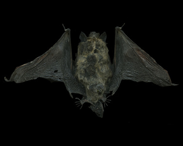 Untitled (Bat)