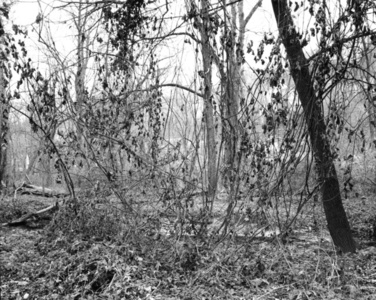 Thicket XXV (Thickets)