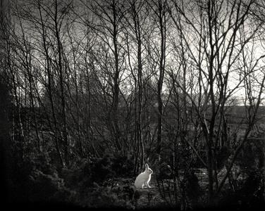 Signilskär, Finland (white rabbit in forest)