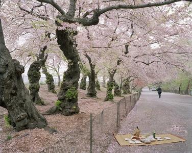 Sakura in Central Park