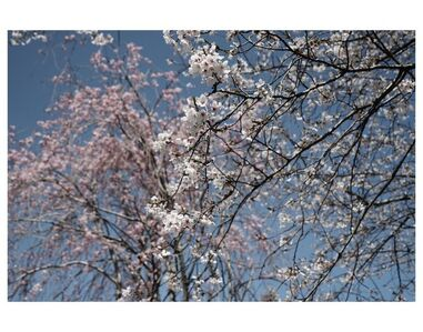 Untitled (Cherry blossom, Spring, New York)