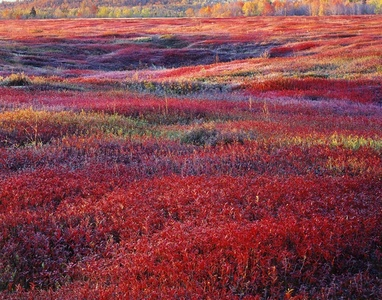 Sunrise and Autumn Blueberries, Maine