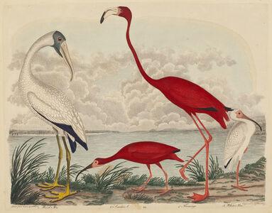 Wood Ibis, Scarlet Ibis, Flamingo, and White Ibis