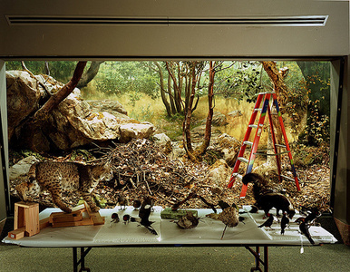 Diorama with Bobcat Removal