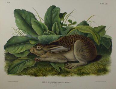 Black Tailed Hare - Lepus Nigricaudatus, Bennet.