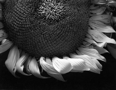 Sunflower, Winthrop, MA
