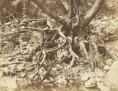 Tree with Tangle of Roots