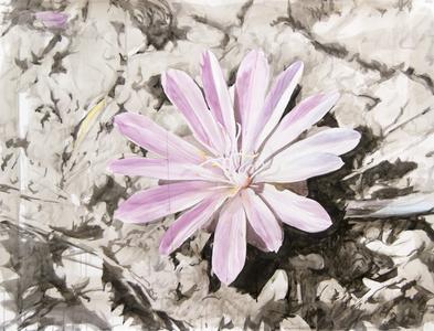 Single Pink Lewisia