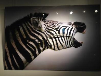 Screaming Zebras
