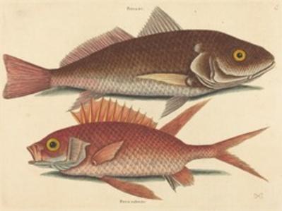 The Croker (Perca undulata)