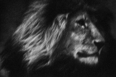 Britta Jaschinski, 'Lone Lion', 2007