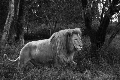 Araquém Alcântara, 'Lion, Tanzania, Africa', 2010