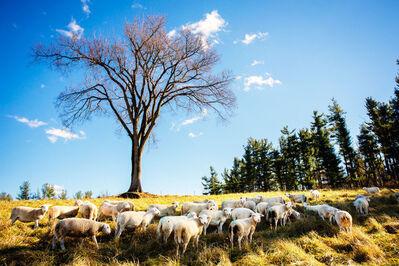 Shannon Greer, 'Sheep Grazing', 2000-2018