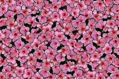 KASHA McKee, 'South Ocean Blvd. (pink) Palm Beach'