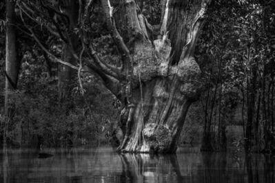 Araquém Alcântara, 'Carabinane Tree, Jaú National Park, Amazonas, Brazil', 2015