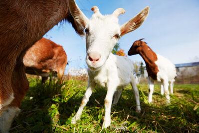 Shannon Greer, 'Darlin Goat', 2000-2018