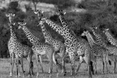 Araquém Alcântara, 'Giraffes, Tanzania, Africa', 2012