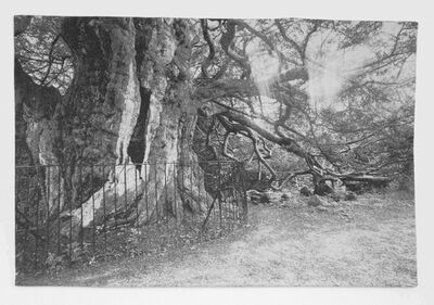 Frans Beerens, '4000 year old Taxus Tree in Crowhurst (England)', 2013