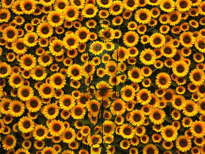 Hiding in the City — Sunflower