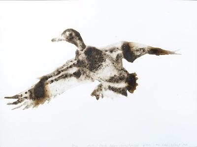 Mallard Duck Anas platyrhychos (The Lake, Central Park, Manhattan)