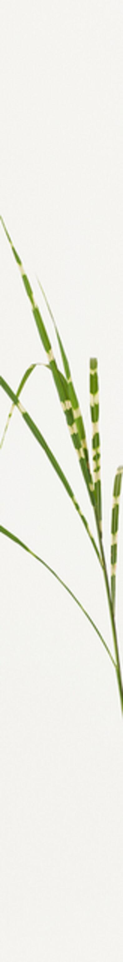 Takashi Tomo-oka, 'Susuki 3 ( silver grass )', 2014