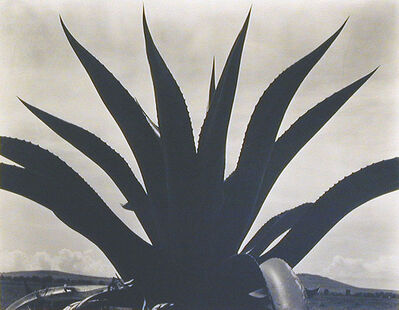Edward Weston, 'Maguey Cactus, Mexico 1926', 1926