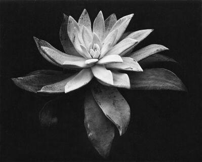 Edward Weston, 'Succulent', 1932-printed 1946 by Cole Weston