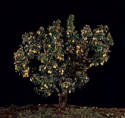 Tal Shochat, 'Untitled (Pear Tree)', 2011