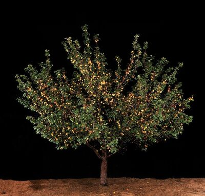 Tal Shochat, 'Untitled (Apricot Tree)', 2011