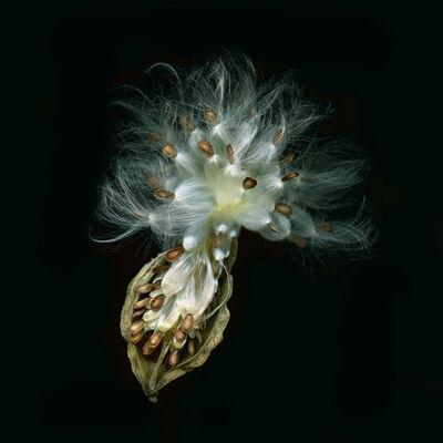 Jerry Freedner, 'Milkweed Still Life (005)'