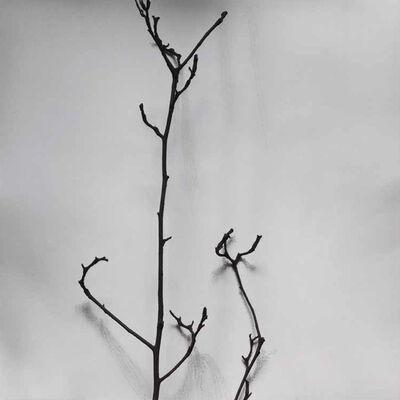 Chu Chu  儲楚, 'Whispers of Trees-Magnolia Denudata', 2011-2017