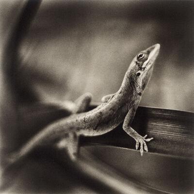 David Johndrow, 'Anole Lizard', 2009