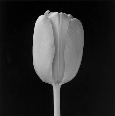 Robert Mapplethorpe, 'Tulip', 1988
