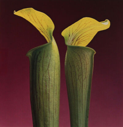 Robert Mapplethorpe, 'Double Jack in the Pulpits', 1986