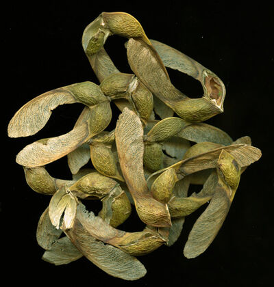 Jerry Freedner, 'Maple Seeds (Still Life)'