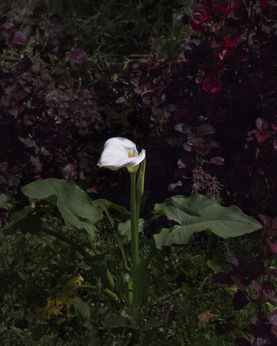 Bek Andersen, 'Imaculado (Arum Lily)', 2016