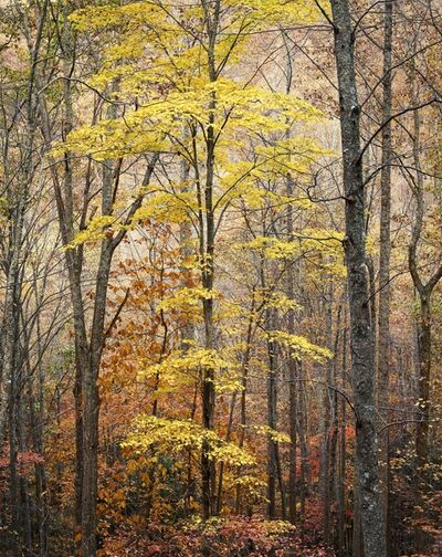 Christopher Burkett, 'Yellow Maple, Forest and Light, Virginia', 1991