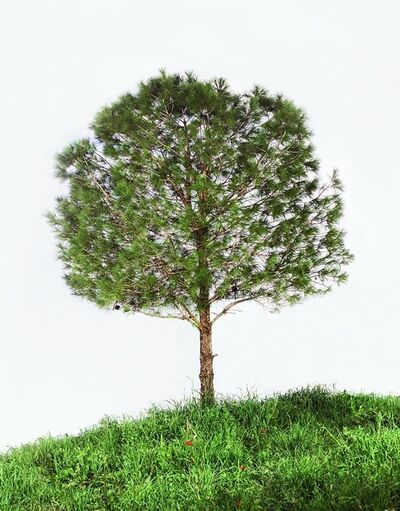 Tal Shochat, 'Untitled (Pine Tree)', 2011