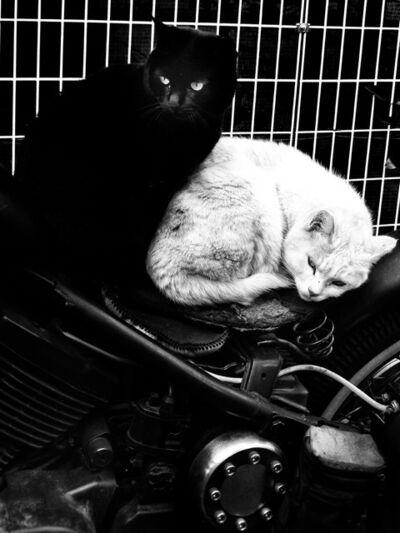 """Daido Moriyama, 'Cats, from """"Dog & Mesh Tights""""', 2015"""