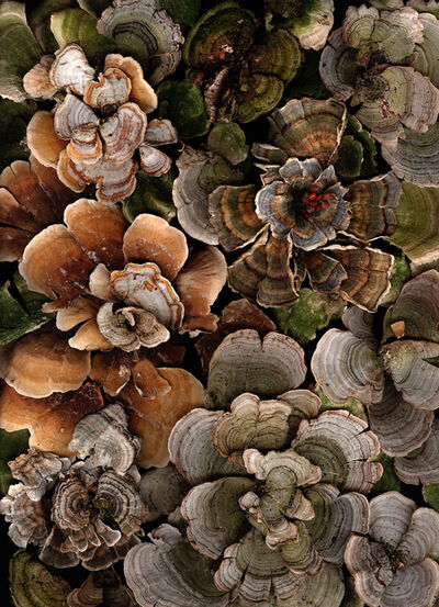 Lisa Frank, 'Arranged Turkey Tails (Contemporary Still Life Photograph of Earth Toned Moss)', 2006