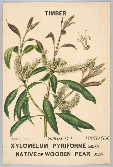 Agard Hagman, 'Botanical illustration of Xylomelium pyriforme (Native or Wooden Pear)', 1887