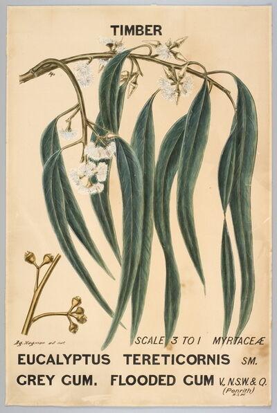 Agard Hagman, 'Botanical illustration of  Eucalyptus tereticornis (Grey Gum. Flooded Gum)', 1888