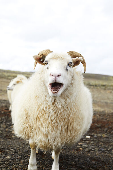 Shannon Greer, 'Icelandic Sheep', 2018