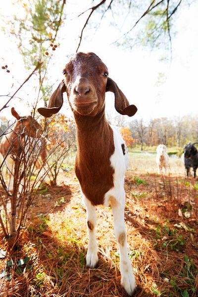 Shannon Greer, 'Sweet Goat', 2000-2018