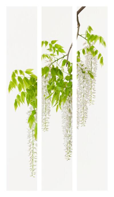 Takashi Tomo-oka, 'Shirafuji 1 ( White wisteria )', 2015