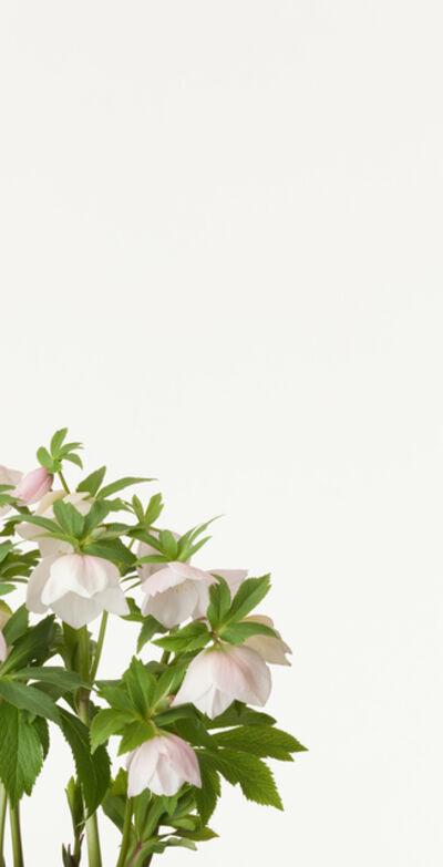 Takashi Tomo-oka, 'Christmas Rose', 2013
