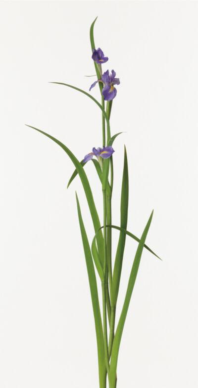 Takashi Tomo-oka, 'Iris', 2010