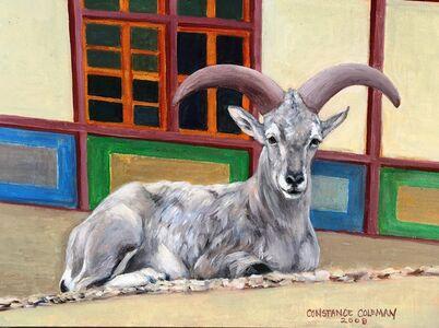Blue Sheep Resting