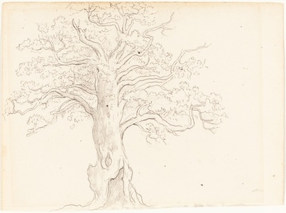 An Oak Tree