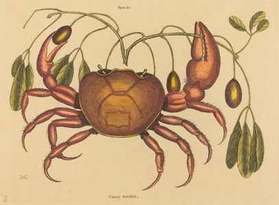 The Land-crab (Cancer ruricola)